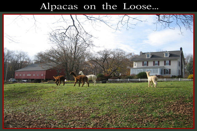 Alpacasloose